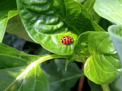 Ladybug in the greenhouse